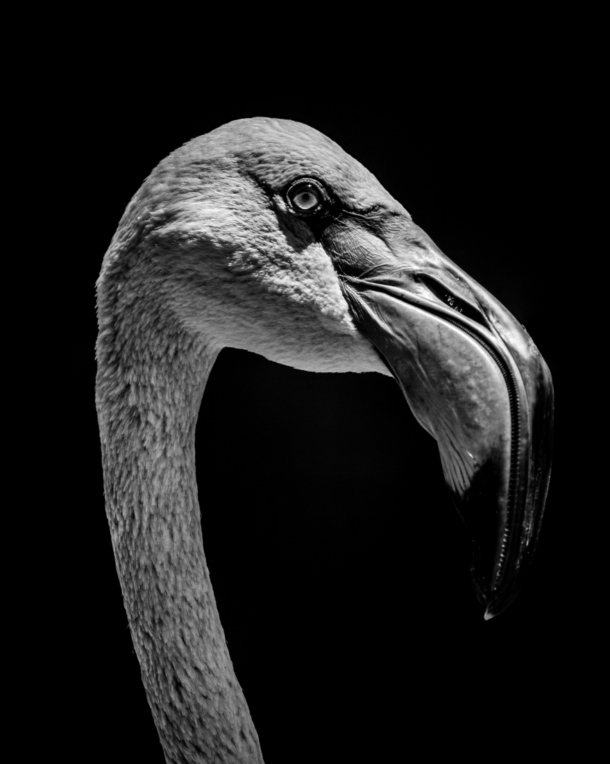 Close-up of Chilean flamingo head in mono.jpg
