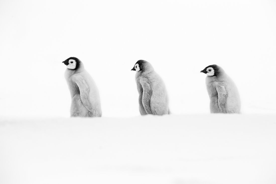 Emperor Penguin Buddy Chicks
