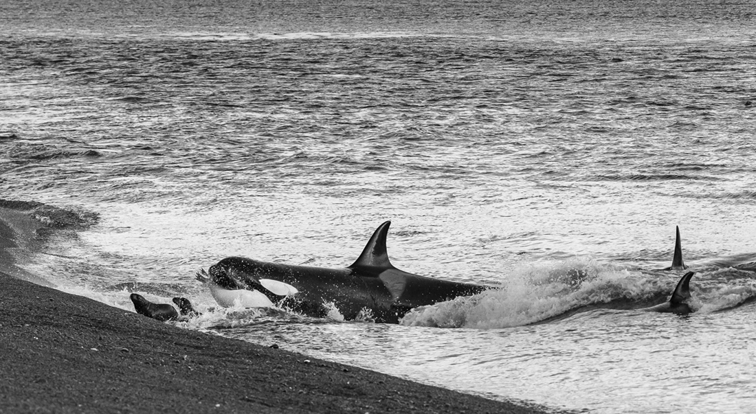 KIller Whale Beach Attack