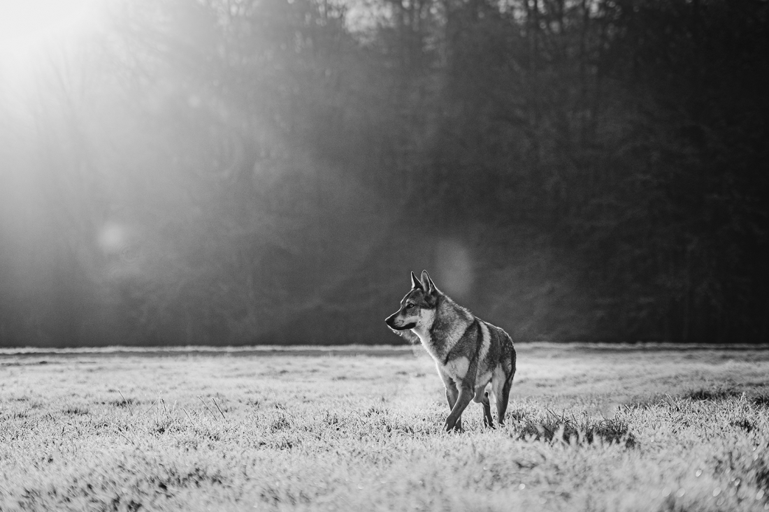 wolf on a frosty morning