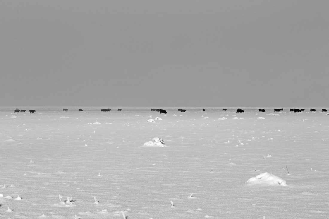 Cattle in Winter