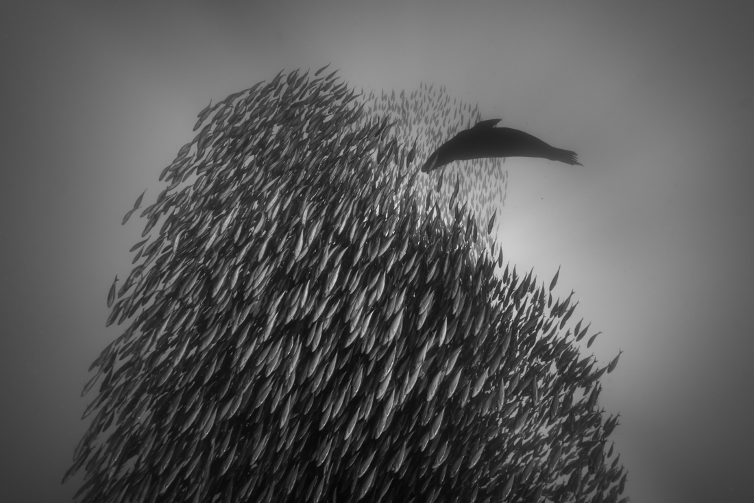 A school of mackerel and a sea lion