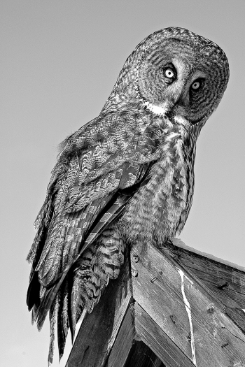 Portraits of wild Great Grey Owls