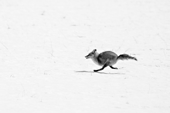 A fox running on the snowy field