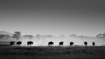 Wildebeests in Amboseli