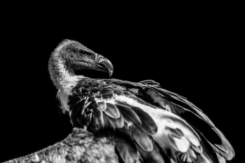 Griffon vulture with majesty