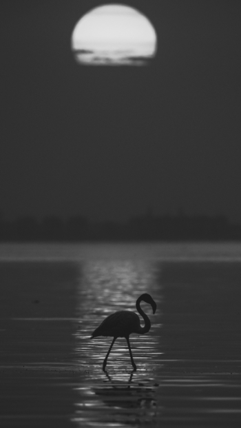 flamingo and sunset