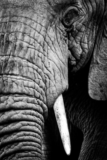 Mono close-up of half African elephant head