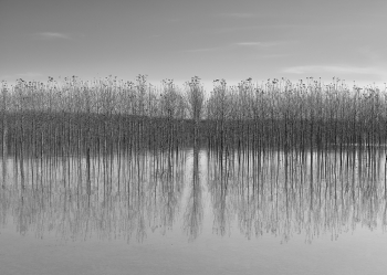 Poplars during a flood of the Po River