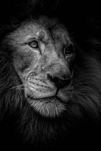Male Lion Portrait