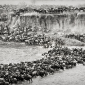 Great Spectacle of Nature - Mara River Crossing